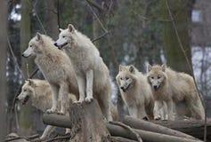 Hord av arktiska wolves Royaltyfri Bild