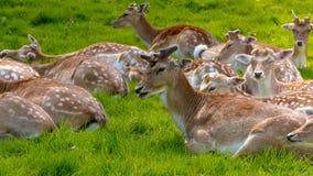 Hord av att vila hjortar royaltyfri fotografi