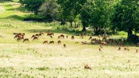 Hord av hjortar i Bristol England royaltyfria foton