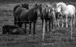 Hord av Iclandic hästar royaltyfri foto