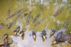 Hord av krokodiler royaltyfri fotografi