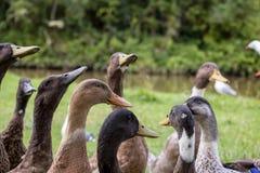 Horda de patos com fome Imagem de Stock Royalty Free