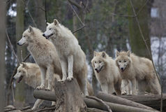 Horde of arctic wolves. In a zoo Royalty Free Stock Image