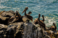 Horde of Pelicans in Vina del Mar, Chile Royalty Free Stock Photo