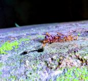 The horde of red ants cripples malignant insects royalty free stock photography