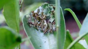 Horden der grünen Heuschrecke Zitrusfruchtblätter essend Lizenzfreies Stockfoto