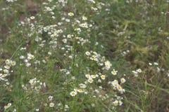 Horden geel-witte bloemen Ondiepe Diepte van Gebied Royalty-vrije Stock Foto's
