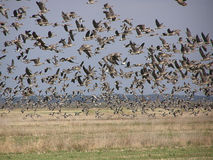 Hordes of geese. Huge flight of geese flying from a reap field. Birds cover all sky Stock Photo
