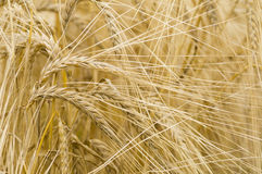 Hordeum distichon, barley, spikes Stock Image