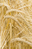 Hordeum distichon, barley, spikes Stock Photo