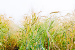 Hordeum distichon  plant. Closed up side view Stock Photography