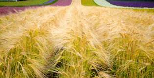 Hordeum distichon ( plant for making beer ) Royalty Free Stock Photography