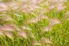 Hordeum jubatum. (Foxtail barley) background Stock Images