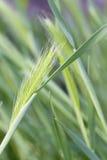 Hordeum murinum. Full frame image of the Wall barley (Hordeum murinum Royalty Free Stock Photo