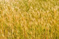 Hordeum plant  field Royalty Free Stock Photography