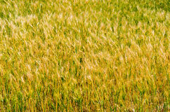 Hordeum plant  field on cloudy day in the afternoo Stock Image