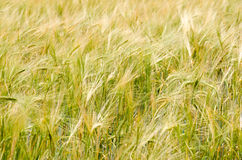 Hordeum. Plant new crop for beer industry Stock Photography