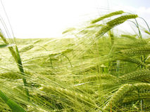 Hordeum vulgare or Barley Stock Image
