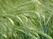 Grain field in the summer. Hordeum vulgare, Barley field in the mature Phase, barley feed, belongs to the family of sweet grasses, cultivation of staple Foods stock photos