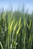 Hordeum vulgare field, barley cereal grain. Hordeum vulgare field, green young barley cereal grain on the field, blue sky and sunlight Stock Image