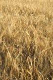 Hordeum vulgaris,barley, Allergens Plants stock image