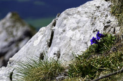 Horec Clusiov - Gentiana clusii. At west tatras slovakia Royalty Free Stock Photos
