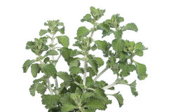 Horehound herb Stock Photos