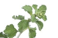 Horehound herb. Closeup of branch of fresh horehound Marrubium vulgare herb on white background Stock Photos