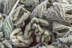 Horehound herb Stock Image