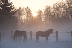 Hores on the horses grazing Royalty Free Stock Photography