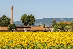 Sätta in av solrosor nära Foligno (Umbria) royaltyfria bilder