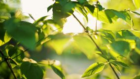 Horisontal Panorama of Beautiful Sunshine via Green Leaves in the Morning. Horisontal Panorama of Beautiful Sunshine via Green Leaves in the Park in the Morning stock video