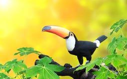 Horisontalbaner med den härliga färgrika tukanfågeln Arkivfoto