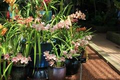 Horisontalbilden av stora lerakrukor fyllde med exotiska orkidér Royaltyfri Fotografi
