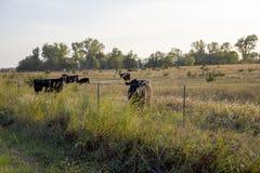 Horisontalfoto av nötkreatur i ett Kansas fält på solnedgången Royaltyfri Bild