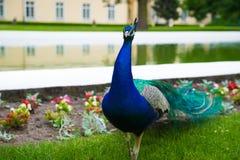 Horisontalfoto av påfågeln med den färgrika svansen som går vid stadparks vatten och springbrunnen, Polen royaltyfria foton