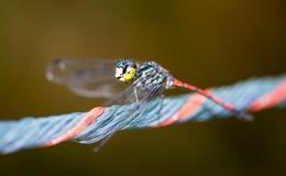 Horisontalkantjusterat kulört slut upp den head fokusen av en drakefluga w Royaltyfria Bilder
