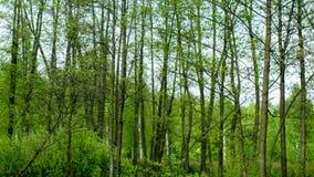 Horisontall dockaskott av den gröna skogen lager videofilmer