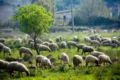 Horisontalsikt av en flock av får som betar i Courtysiden på royaltyfri fotografi