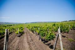 Horisontalskott av centralen - europeisk vingård Royaltyfri Fotografi