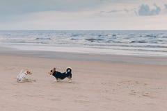 Horisontalskottet av två hundkapplöpning möter på stranden, poserar mot havet, och himmelbakgrund, tycker om går, kör på sand Beh royaltyfri bild