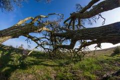 Horisontalväxande träd royaltyfri foto