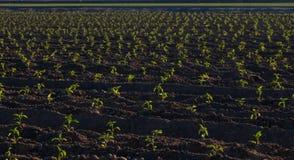 Horisontalväxter för chilepeppar som spirar precis, lucka, NM stock illustrationer