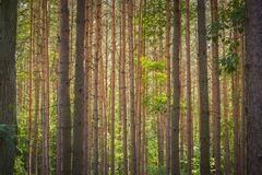 Horisontellt växande trädstammar i en skog Arkivfoto