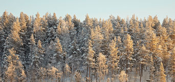 Horizon covered winter forest Royalty Free Stock Photography