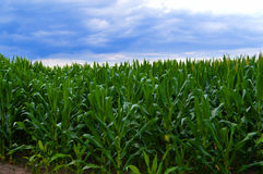 Horizon de maïs après la tempête 2 Image libre de droits