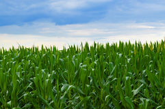 Horizon de maïs après la tempête Image stock