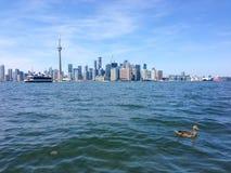 Horizon de Toronto de l'eau avec le canard dans le premier plan Photographie stock