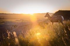 Into the Horizon. Mountain Goats Surveying the South Dakota Sunset Stock Image