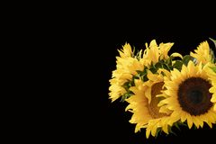 Horizonal black background with vibrant beautiful sunflowers in lower left - room for text stock images